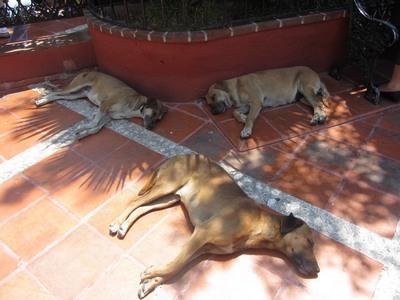 Dogs @ zocolo