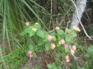 Flowers, Canaveral National Seashore