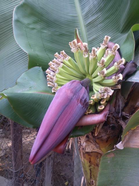 Banana flower, Ocotito, Mexico