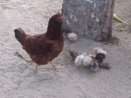 Chickens in yard, Mexico