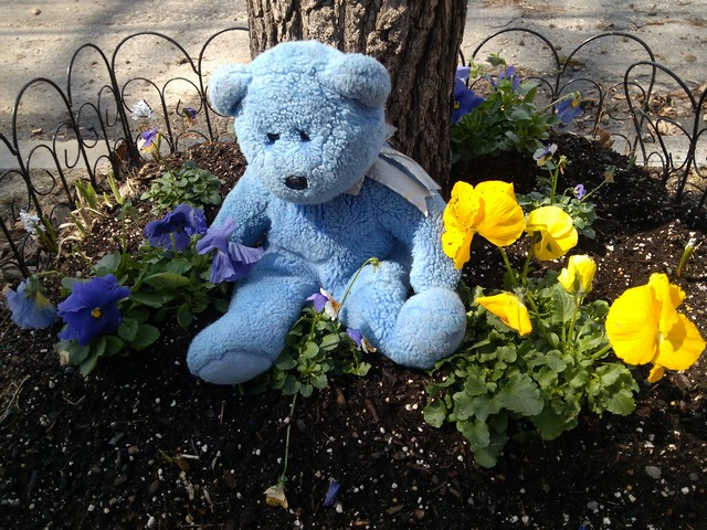 Blue Bear and pansies